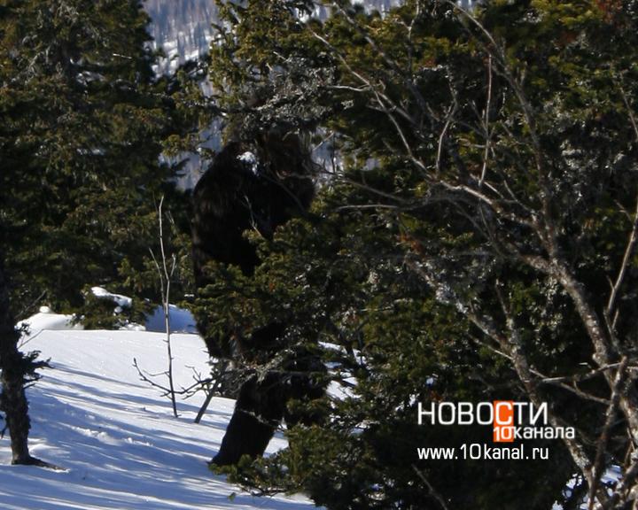 L'ultima foto di uno Yeti, scattata proprio in Siberia